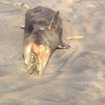 This is the 19th marine mammal found dead in Ghana since 2009
