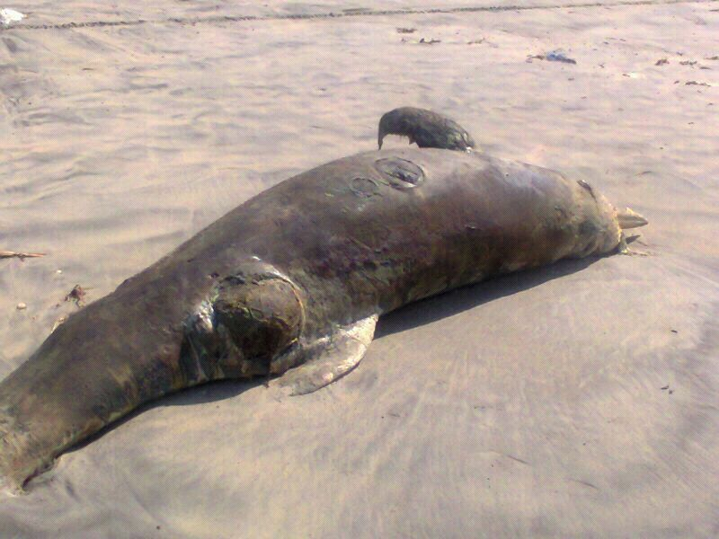 It was the second mammal that washed ashore within two days in Asanta