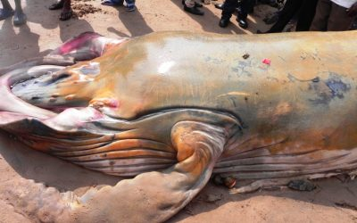 Increase of Whales washed ashore in Ghana
