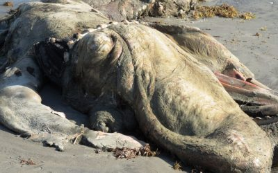 Another dead whale washed ashore in Asanta, Ellembelle District