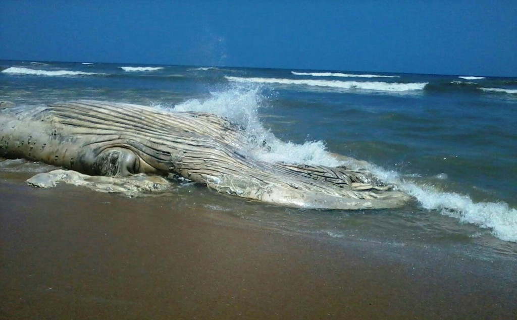 Another dead whale washed in Western Region of Ghana