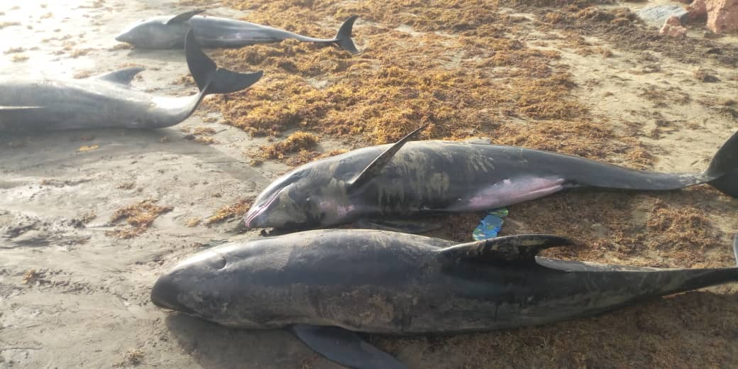 Press release on the washing ashore of melon headed whales and other fishes in-some coastal communities of Ghana
